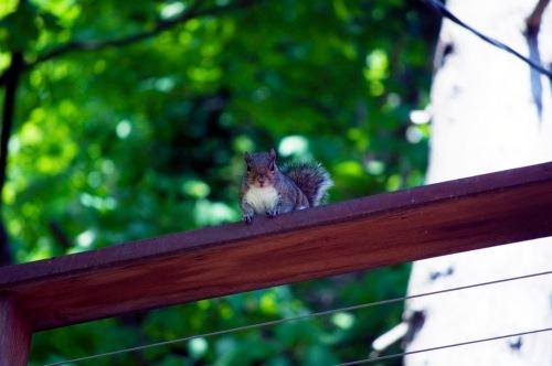 41_squirrel_ii